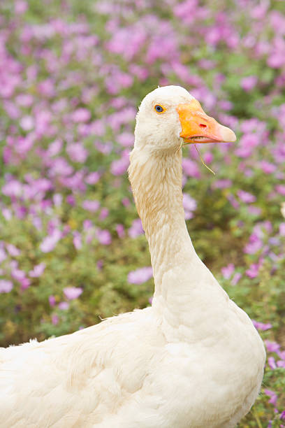 Goose on a field stock photo