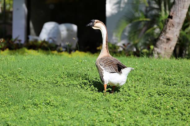 gans auf grünem gras im sonniger tag - gänsefett stock-fotos und bilder
