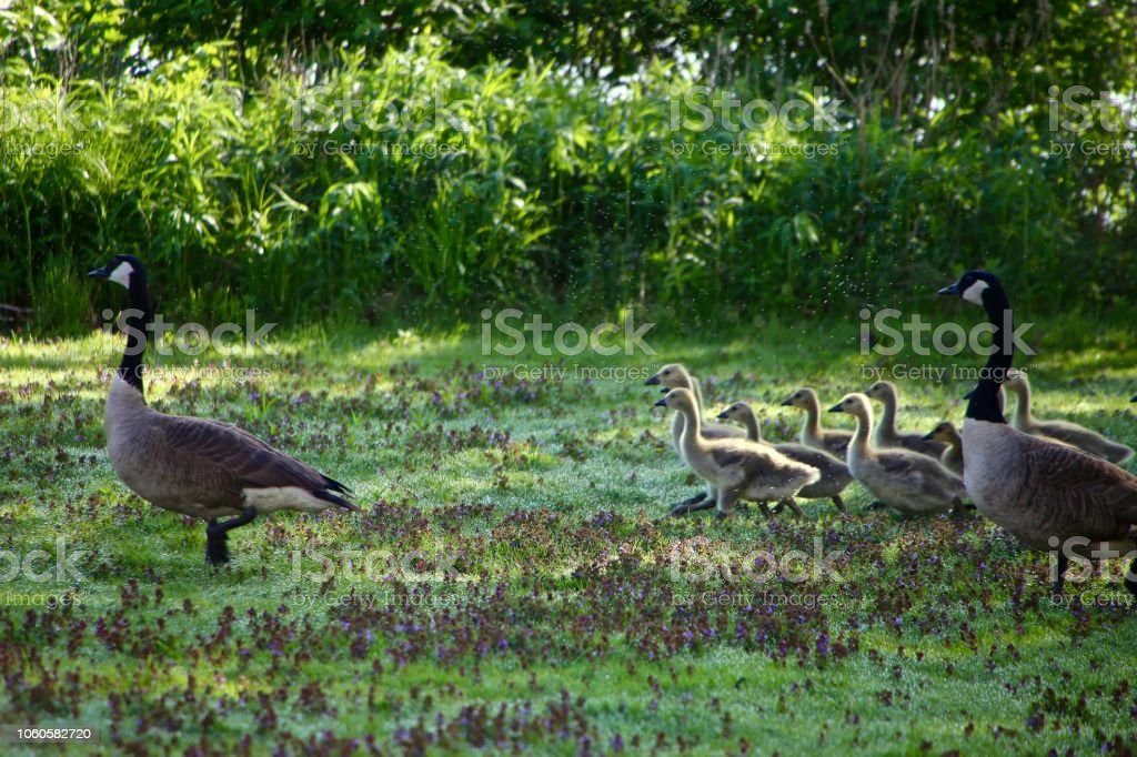 Goose stock photo