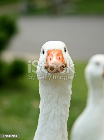 Goose looking bold.