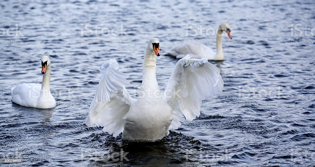 Goose royalty-free stock photo