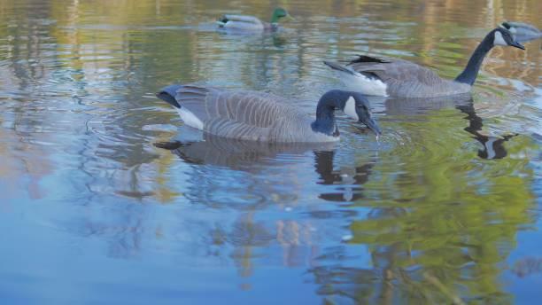 鵝 - gif 個照片及圖片檔