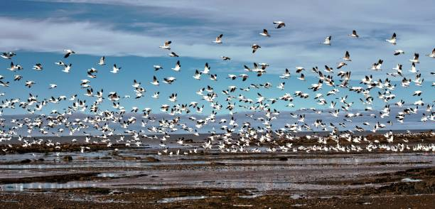 Oie blanche snow goose stock pictures, royalty-free photos & images