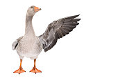 Goose points wing to side standing isolated on white background