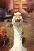Goose bird head portrait