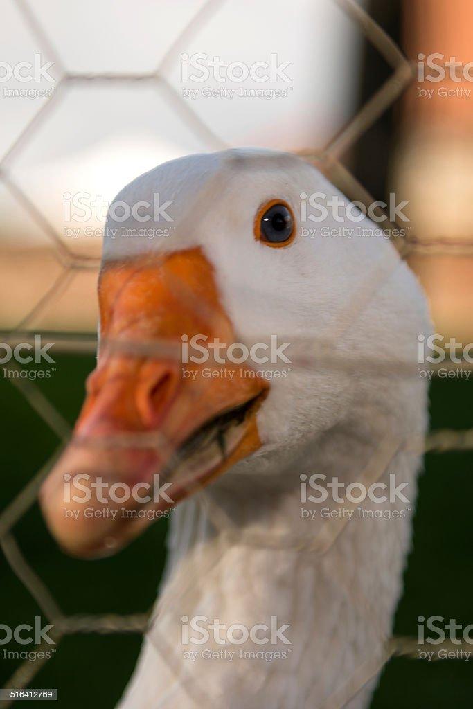 Goose portrait stock photo