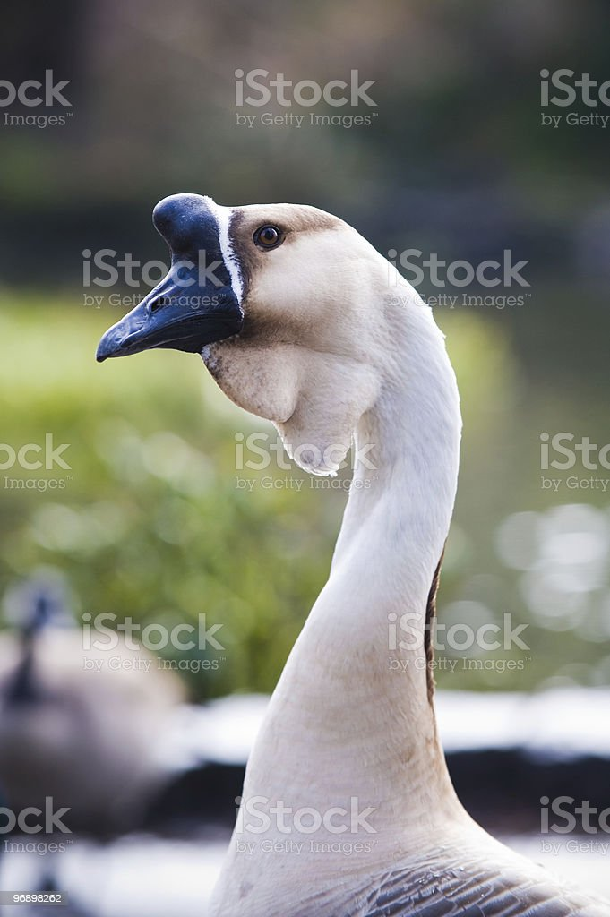Goose portrait royalty-free stock photo