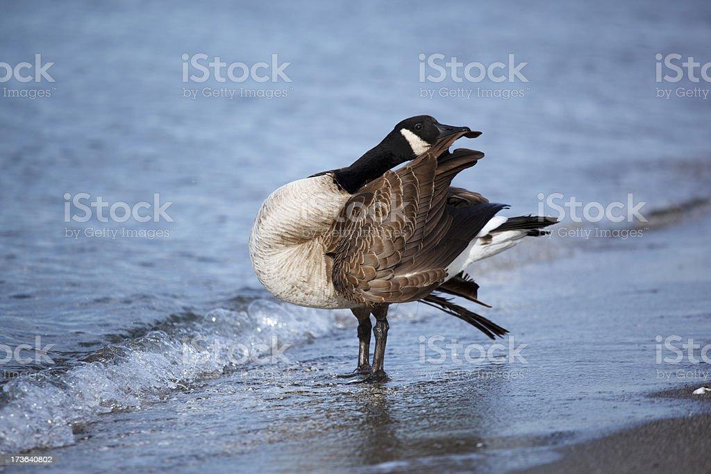 Goose preening stock photo