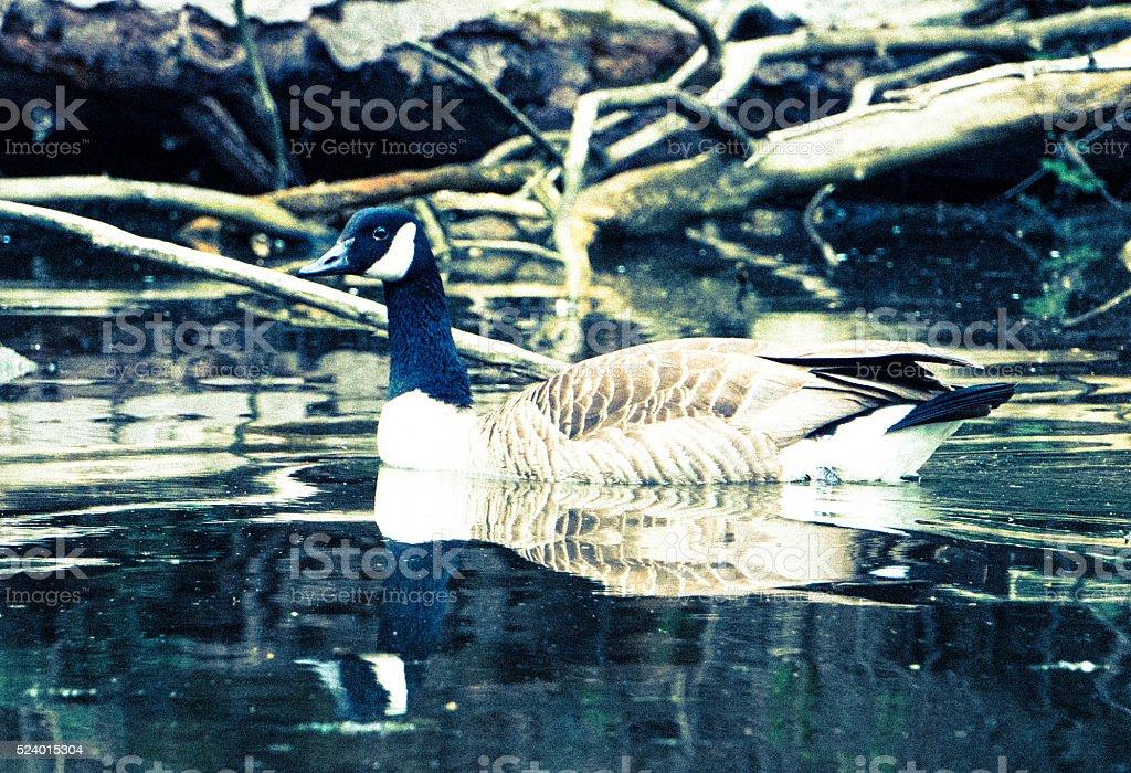Goose profile stock photo