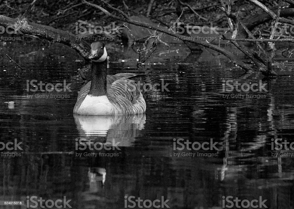 Goose reflection stock photo