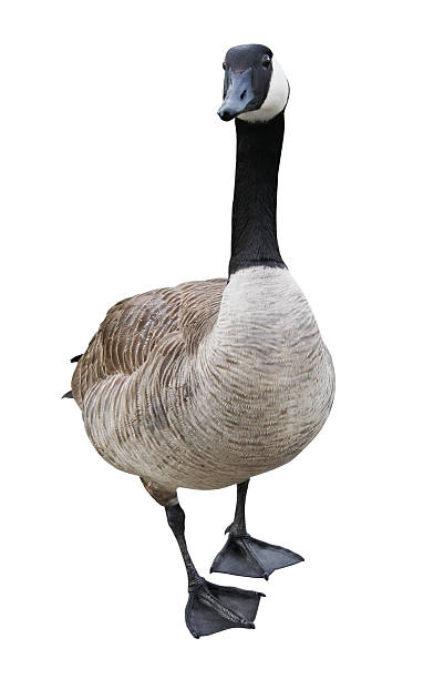 Goose with Clipping Path Canada Goose isolated on white with clipping path. lake waterfowl stock pictures, royalty-free photos & images