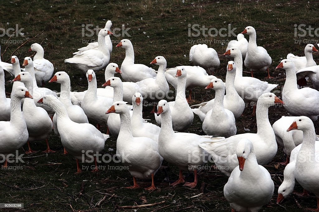 goose3 royalty-free stock photo