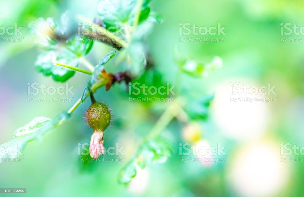 Gooseberries just forming behind the dying flowers Gooseberries just forming behind the dying flowers on a gooseberry bush in Springtime. Agriculture Stock Photo