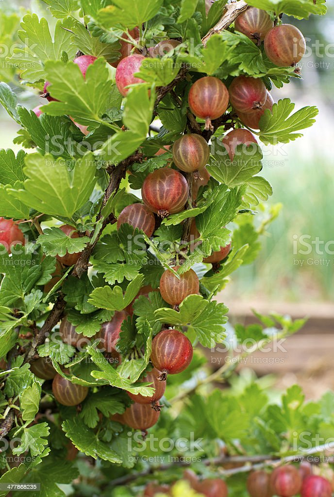 Gooseberries royalty-free stock photo