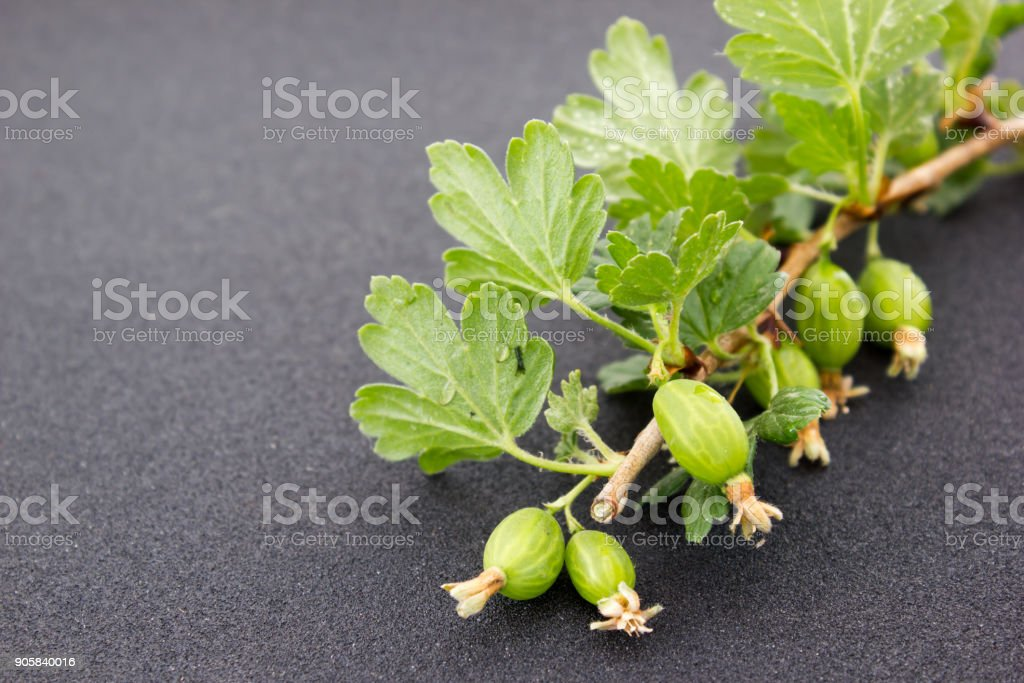 Gooseberry branch with berries stock photo