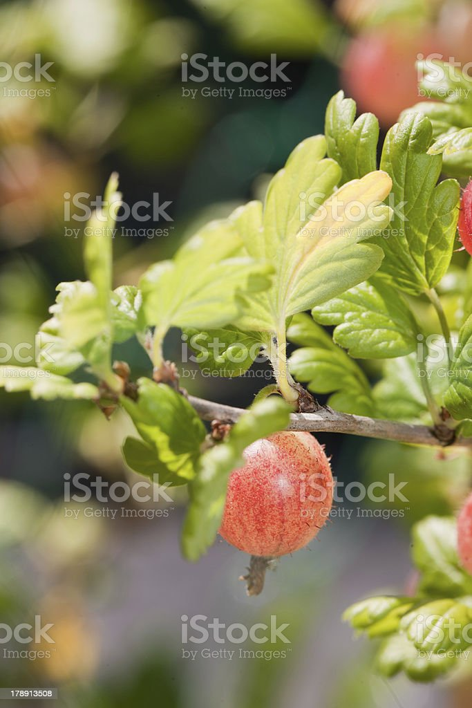 Gooseberry growing royalty-free stock photo