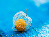 Superfood, golden berry plant over blue background (Physalis peruviana)