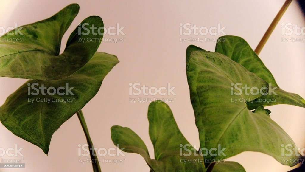 Goosefoot Or Syngonium Podophyllum Leaves Stock Photo ... on