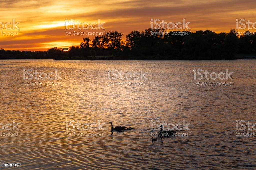 Gooses at river and beautiful sunset zbiór zdjęć royalty-free