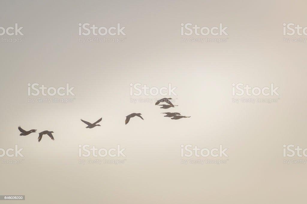 Gans vliegen in het gouden uur zonlicht, pastel kleur foto