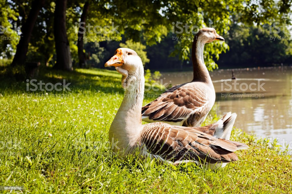 gooses on the grass - Royalty-free Agricultural Field Stock Photo
