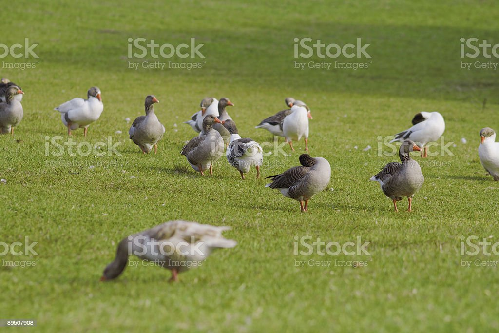 Gooses royalty-free stock photo