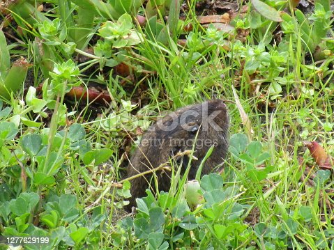 A small gray gopher peeks its head out of a small hole in the grassy ground and looks at the photographer with one of his eyes.