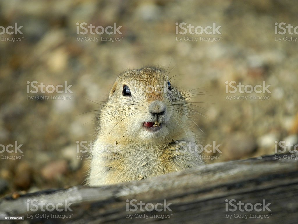 gopher grin stock photo
