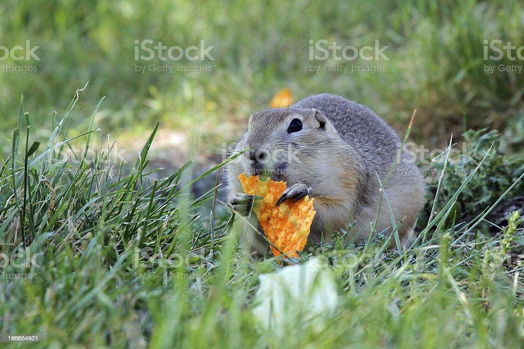 Gopher or Richardson's Ground Squirrel stock photo