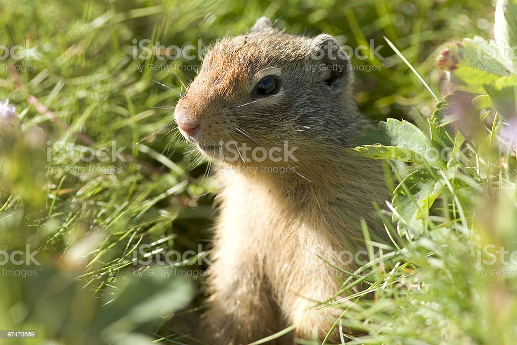 Gopher royalty-free stock photo