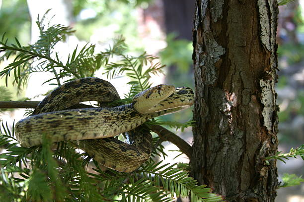 gopher snake - snake strike stock photos and pictures