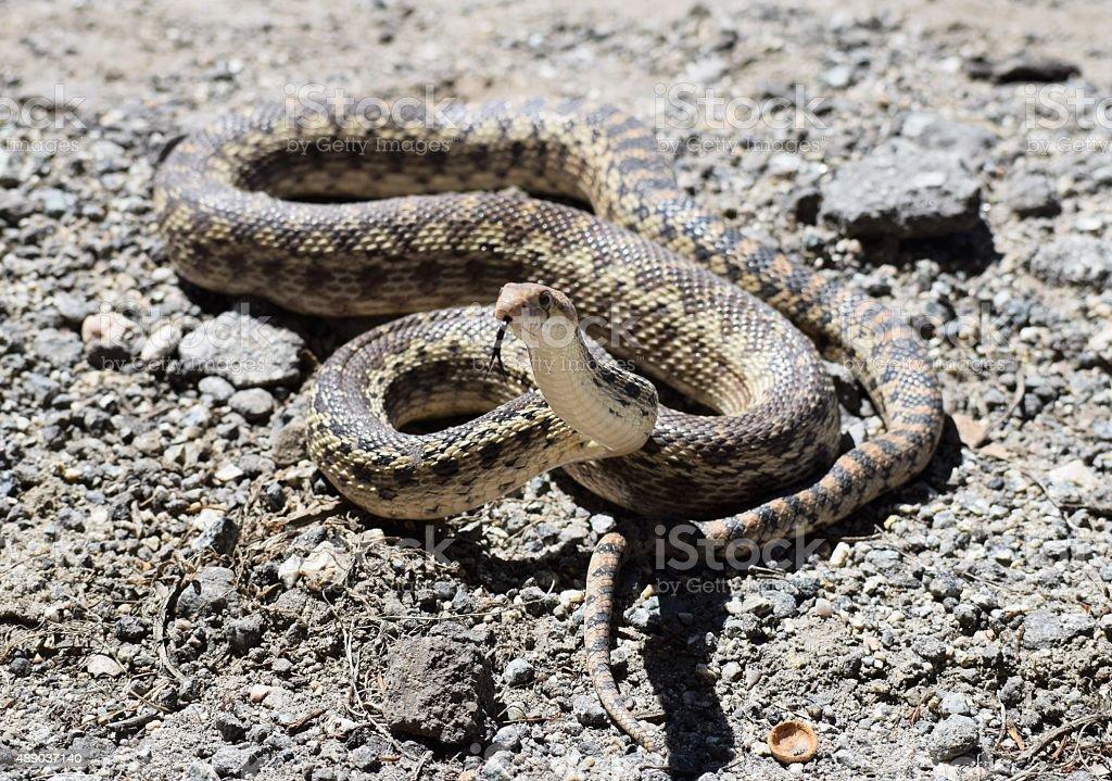 Gopher Snake Poised to Strike stock photo