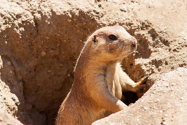 ver gopher pie - groundhog day fotografías e imágenes de stock