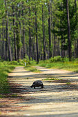 Gopher Tortoise hightailing it rapidly down a dirt road through forest