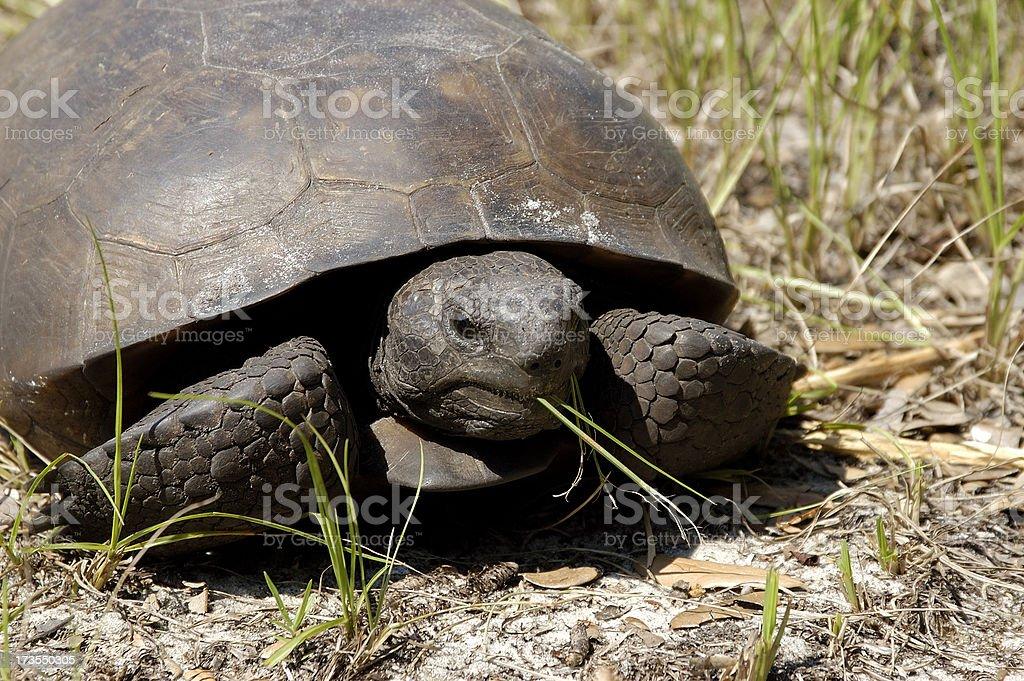 Gopher Tortoise royalty-free stock photo