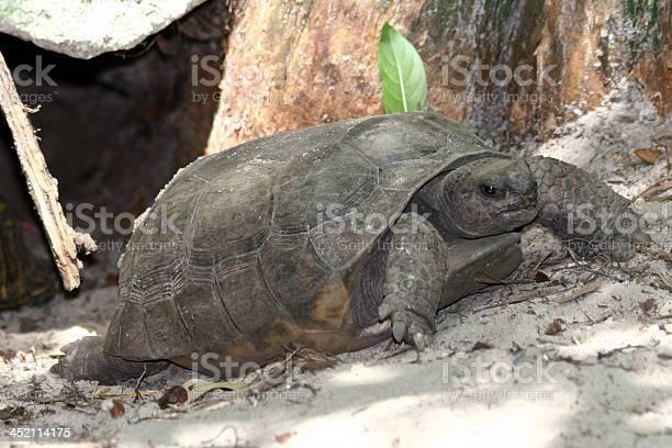 Gopher tortoise picture id452114175?b=1&k=6&m=452114175&s=612x612&h=iyfk6n3tyqrf4ks x8klotscjrxg9zzhtc7p4mylhpk=