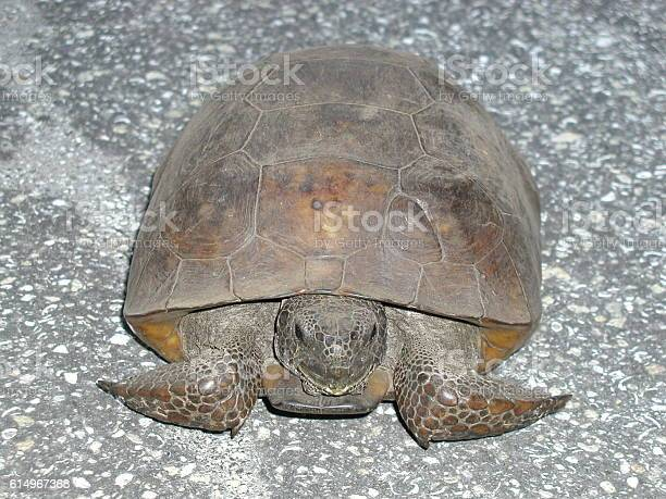 Gopher tortoise picture id614967368?b=1&k=6&m=614967368&s=612x612&h=qepvze7hia87qjacjl6mw59af27x v5own9xvslzxws=