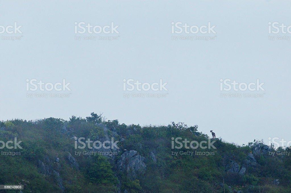 Goral del himalaya ็ pie en la montaña foto de stock libre de derechos
