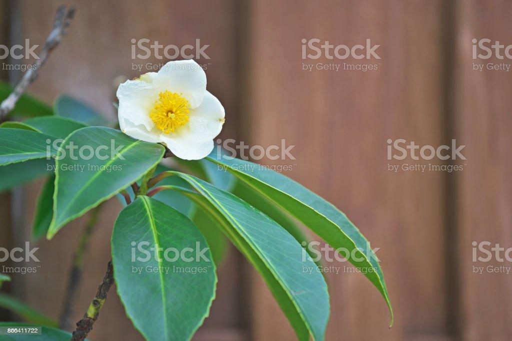 Gordonia axillaris stock photo