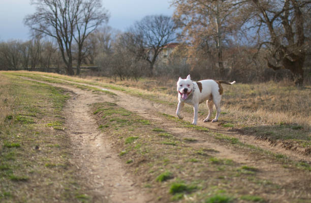 Gorgeous American Pit Bull Terrier outdoor stock photo