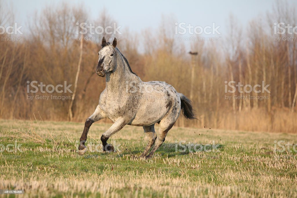 Gorgeous appaloosa running in spring nature stock photo