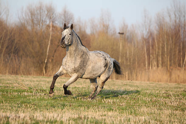 Gorgeous appaloosa running in spring nature Gorgeous appaloosa running alone in spring nature appaloosa stock pictures, royalty-free photos & images