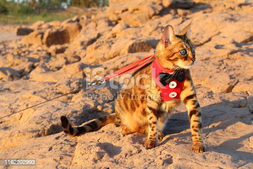 Gorgeous Bengal cat with elegant outfit outdoors.