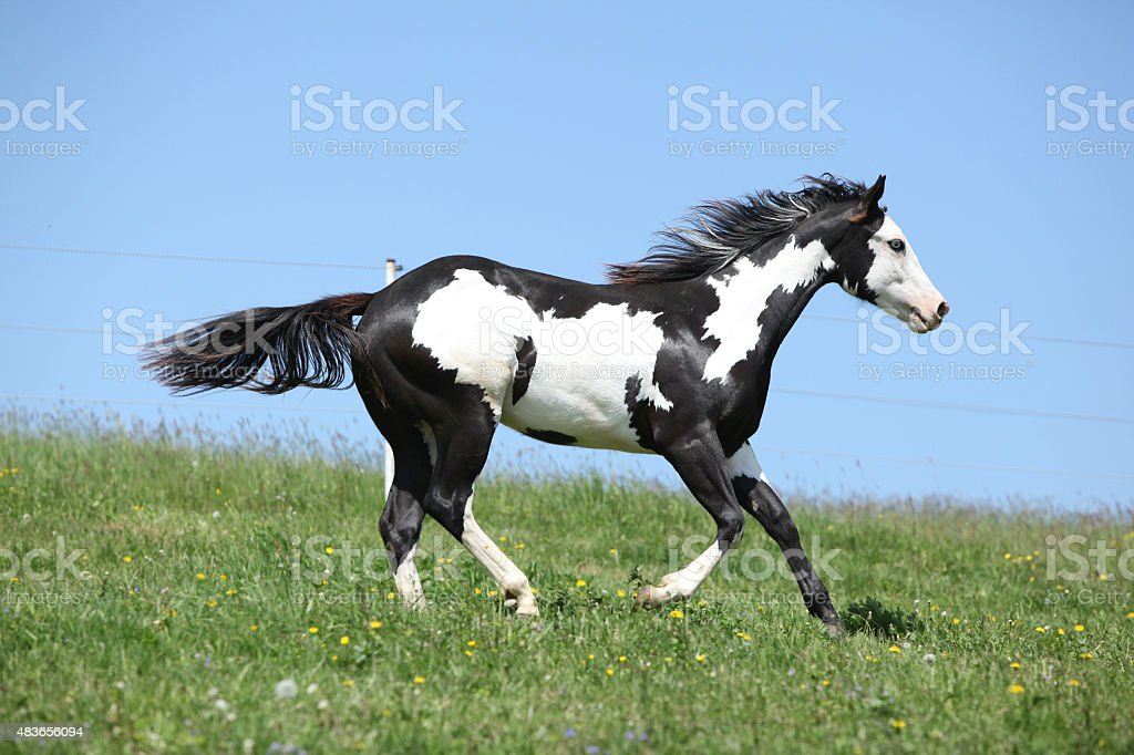Gorgeous black and white stallion of paint horse running stock photo