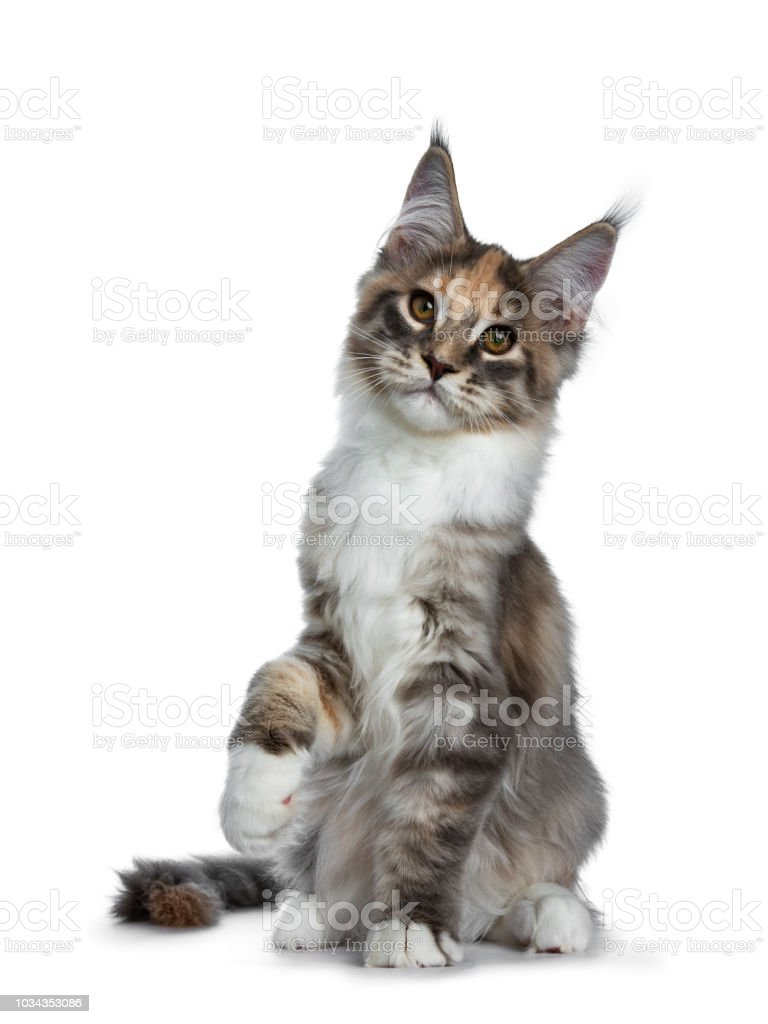 Gorgeous Blue Tabby Tortie Maine Coon Cat Girl Kitten Sitting Facing Front With On Paw Lifted In Air Looking At Camera Isolated On White Background Stock Photo Download Image Now Istock