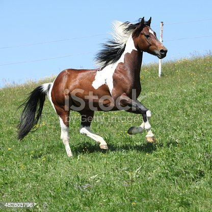 Gorgeous brown and white stallion of paint horse running on spring pasturage