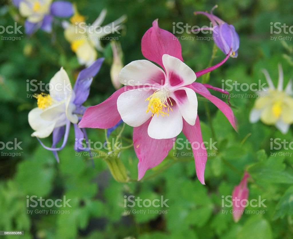 Gorgeous Columbine Rocky Mountain Flower Stock Photo More Pictures