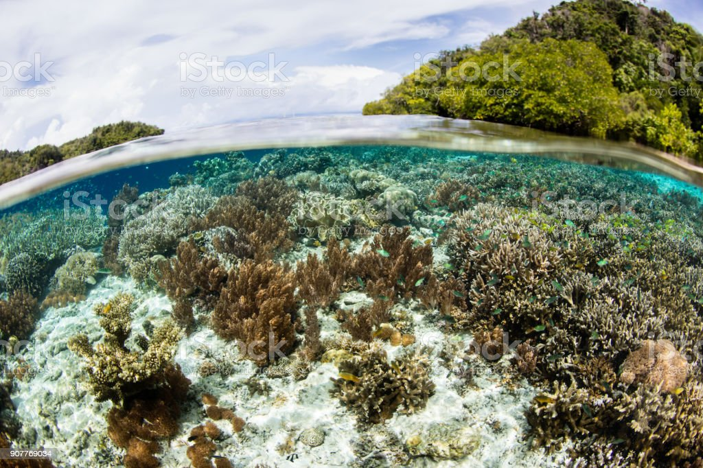 """Gorgeous Corals in Raja Ampat Shallows Healthy corals grow in the shallows fringing an island in Raja Ampat, Indonesia. This area is known as the """"heart of the Coral Triangle"""" due to its incredible marine biodiversity. Adventure Stock Photo"""