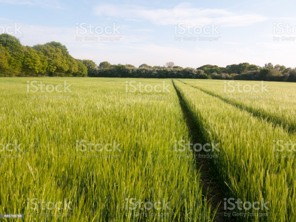 gorgeous crop field outside growing in the sun light shimmering farm land foto stock royalty-free