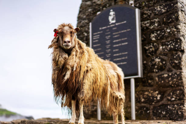 Gorgeous Faroese sheep posing in front of the camera. Mykines, Faroe Islands. stock photo